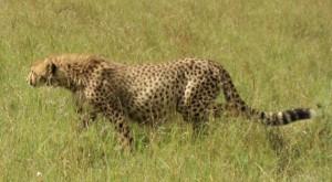 cheetah prowls the Masai Mara